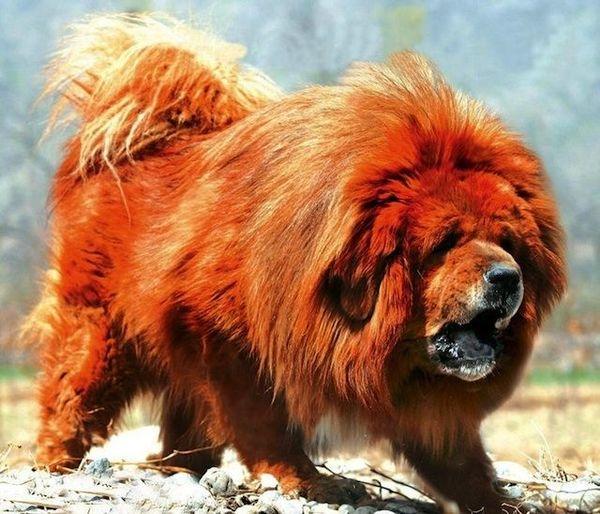 Top 7 Giống chó chọi khỏe nhất thế giới