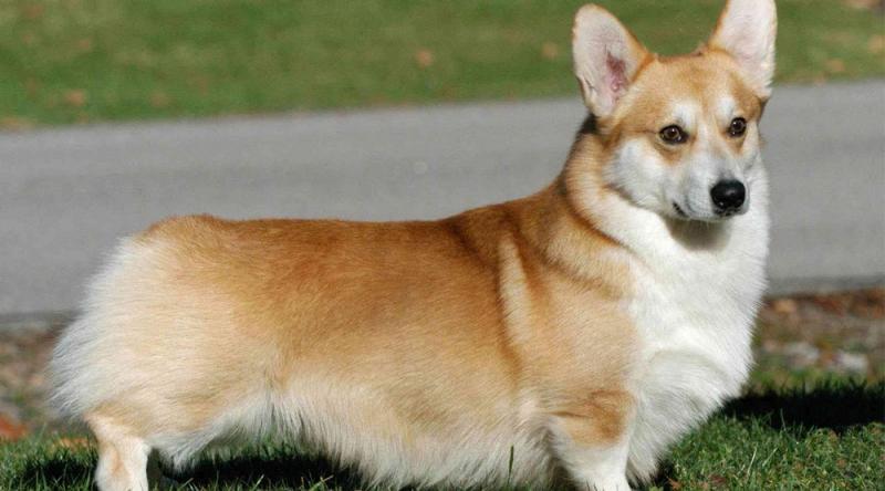 Chó Pembroke Welsh Corgis