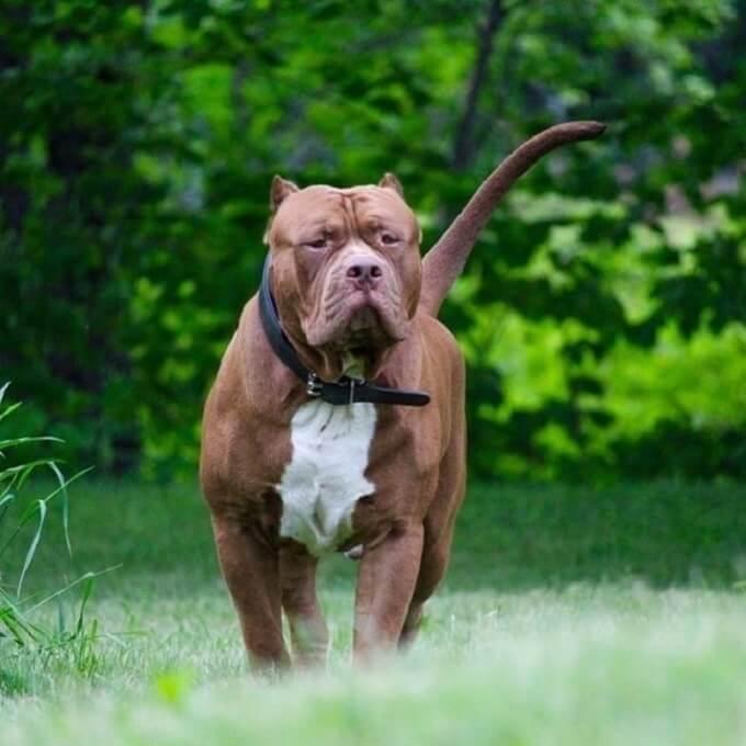 Pitbull là giống chó dữ dằn nếu huấn luyện tốt thì nó thật sự hiền lành, gần gũi và đáng nuôi nhất