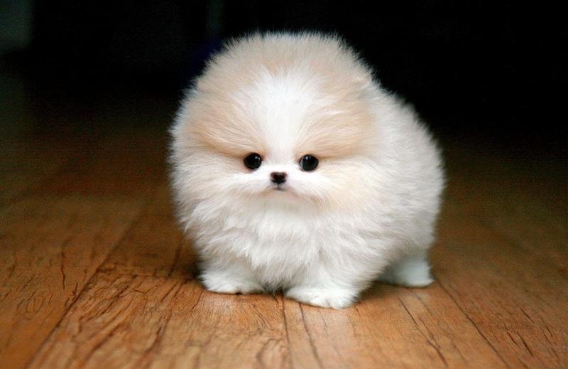Chó Phốc sóc trắng xinh như một chú gấu bông