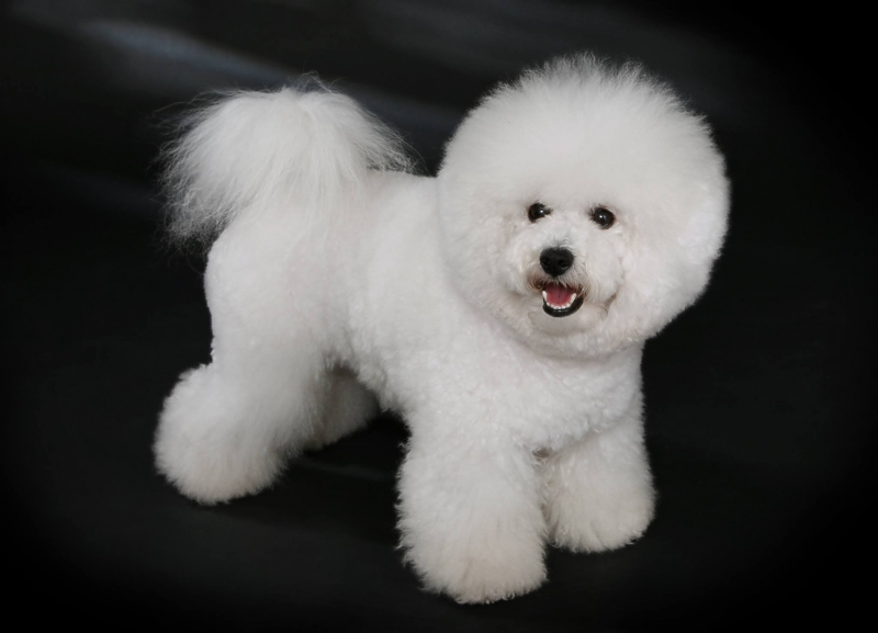 Chó Poodles