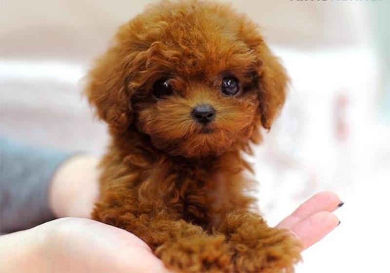 Poodles giống cho đáng yêu nhất