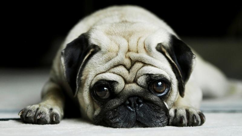 Chó Pug với khuôn mặt chảy xệ ảo não