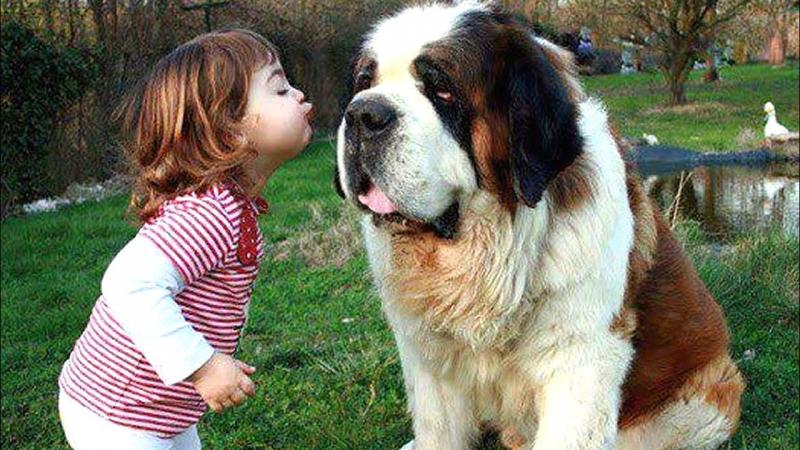 Saint Bernard rất hiền lành và thân thiện với trẻ