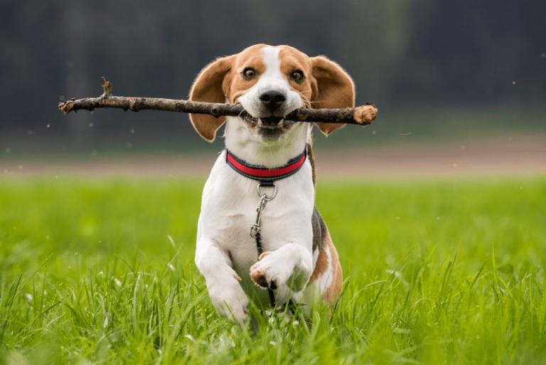 Chó săn thỏ (Beagle)