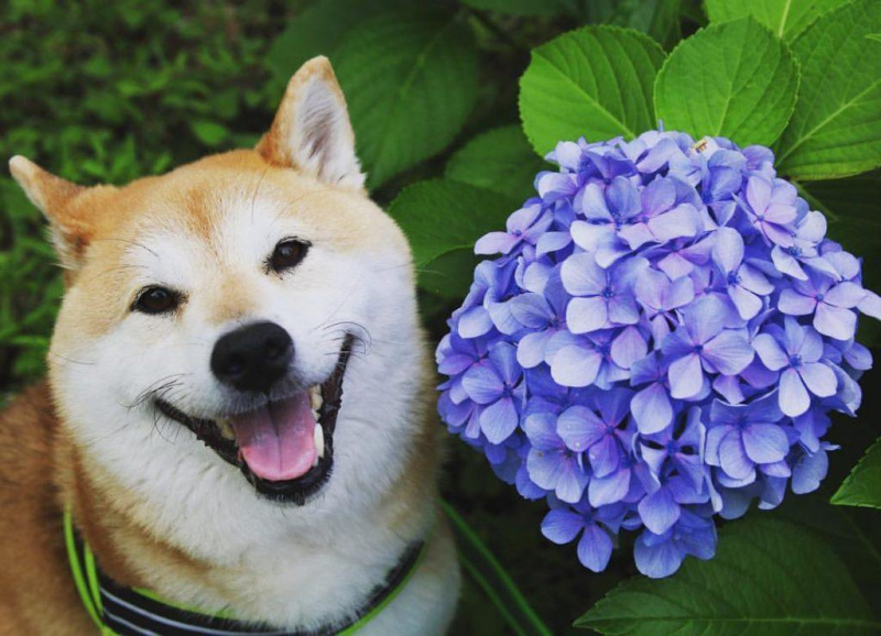 Chó Shiba