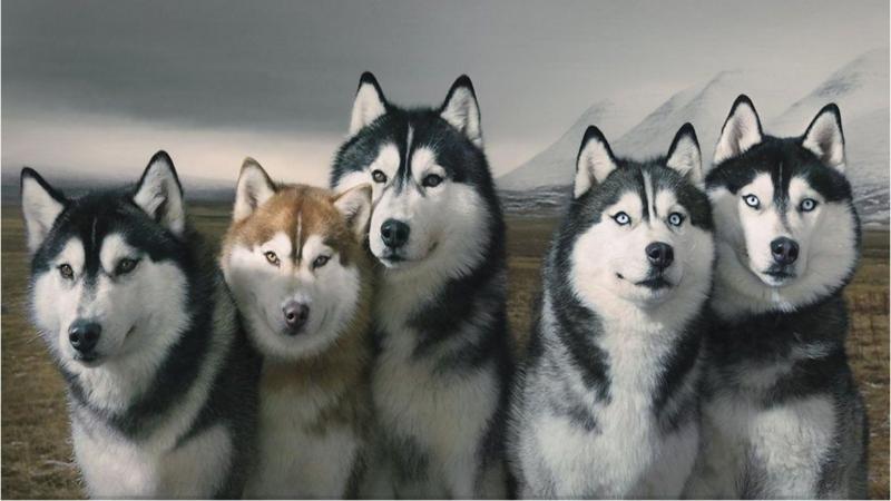 Chó Siberian Huskies vô cùng đẹp và thông minh