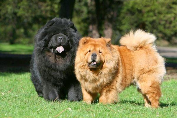 Cân nặng trung bình của chúng khoảng 28 kg và chiều cao chỉ có 52 cm