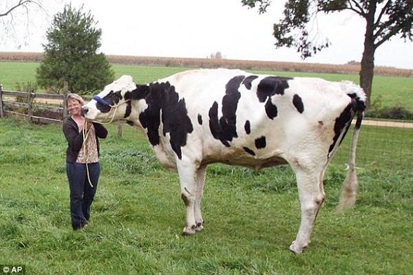 Chú bò Blossom cao nhất thế giới