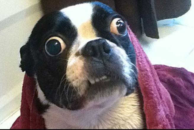 Chú chó Bruschi đôi mắt to nhất