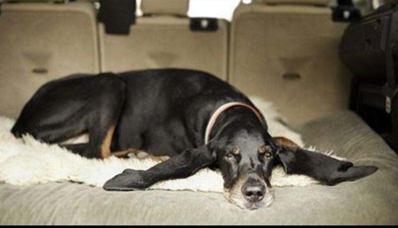 Chú chó Harbor đôi tai dài nhất