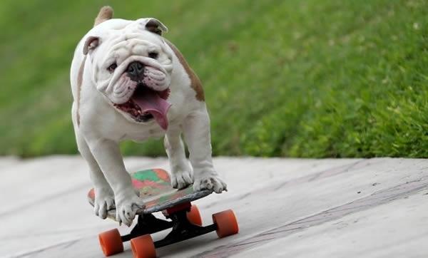 Chú chó Otto trượt ván giỏi nhất