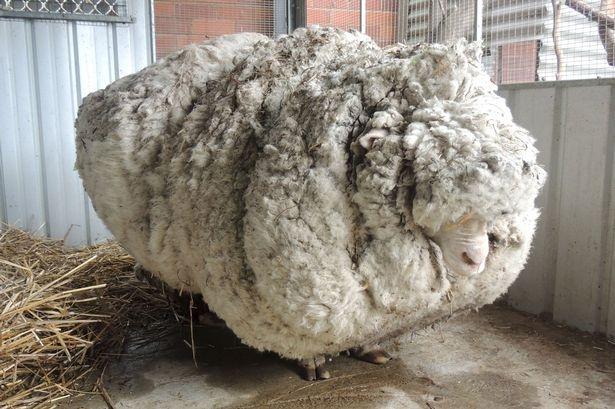 Chú cừu có bộ lông dày nhất thế giới.