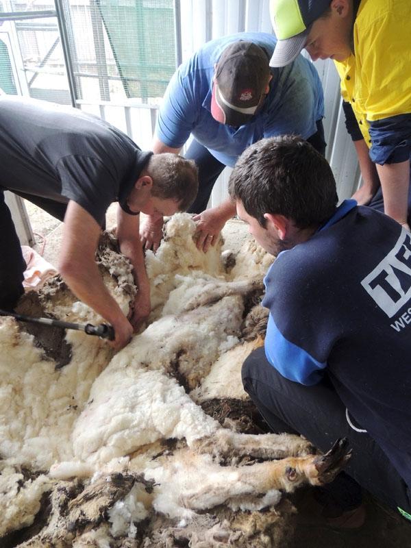 Hoạt động Elkins và nhân viên hỗ trợ cạo lớp lông cừu của Chiris