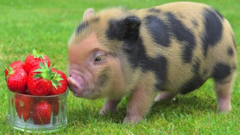 Ngắm nhìn chú lợn đáng yêu trong chuồng là một điều rất thú vị.