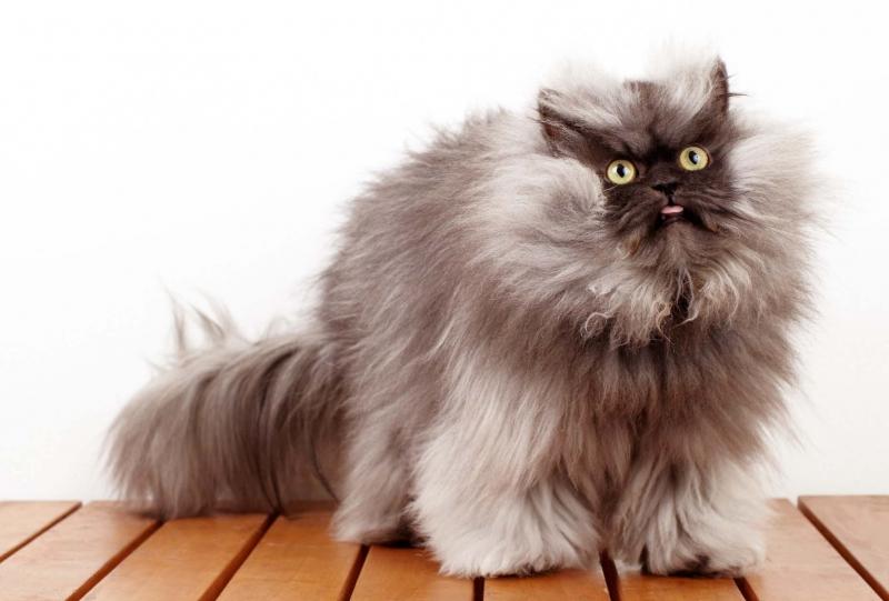 Chú mèo Ba Tư với gương mặt hung dữ nhưng lại sợ chim