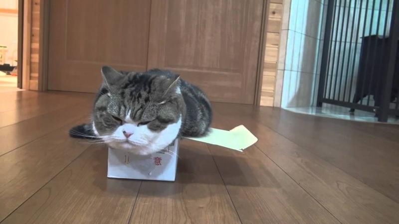 Dù hộp to hay hộp nhỏ, Maru đều thích chui vào