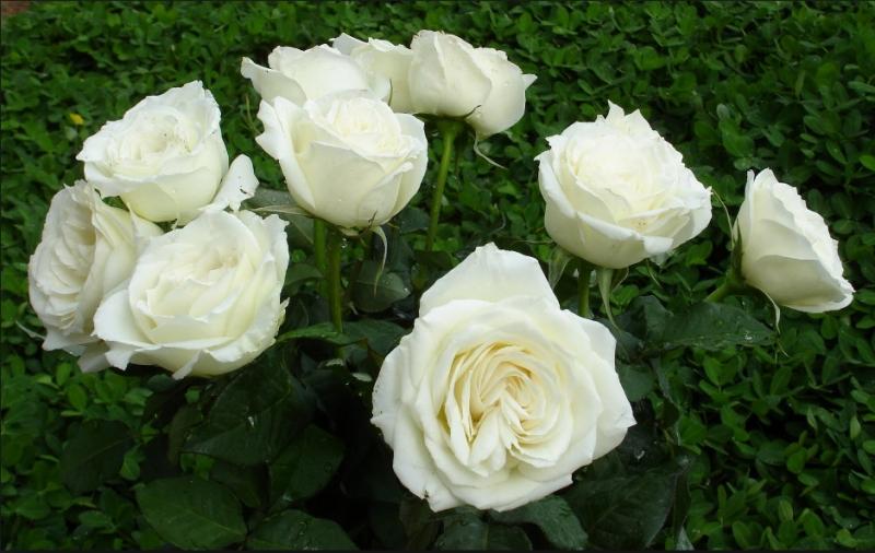 Hoa hồng bạch có tác dụng chữa ho
