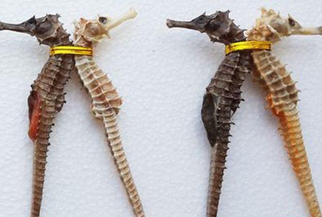 Trong một số bài thuốc, cá ngựa thường được dùng một cặp