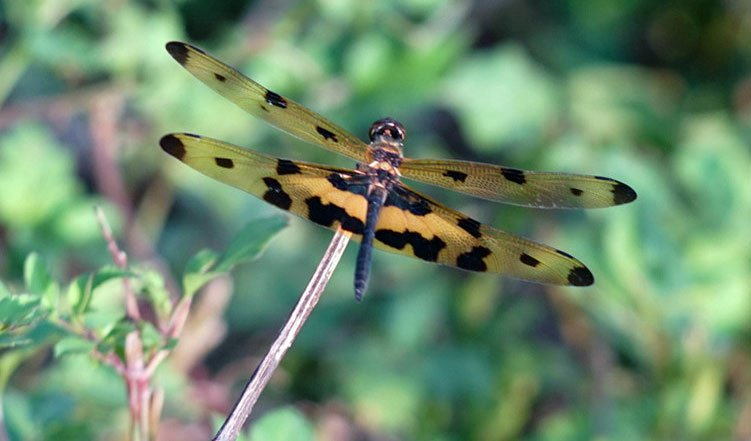 Chuồn chuồn cánh bướm