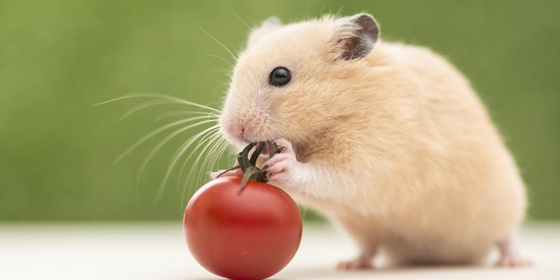 Chuột thuộc top 10 loài vật thông minh nhất thế giới