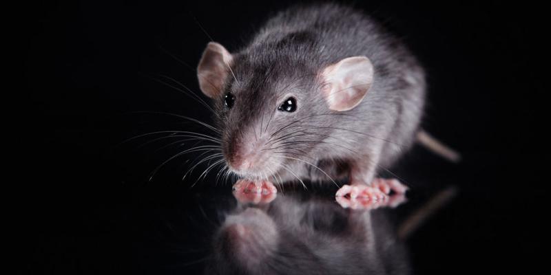 Chuột là một trong những loài vật thông minh