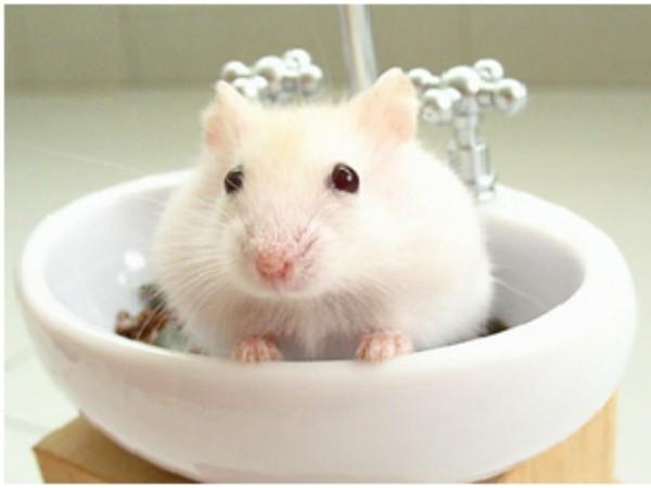 Nhìn chú Hams nhỏ nhắn dễ thương này bạn có muốn sở hữu ngay cho mình 1 em không?