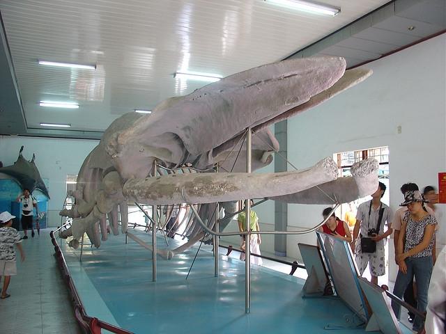 Bộ xương cá voi khổng lồ