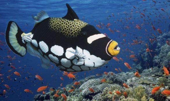 Clown Trigger Fish (Cá Bò Bông Bi)