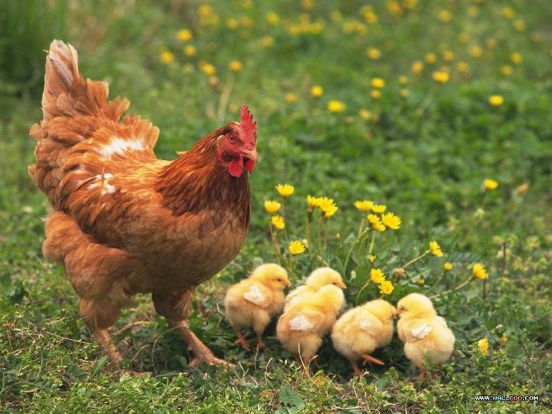 Khi những quả trứng đã nở ra thành những chú gà chiếp rất dễ thương thì lúc này gà mái mơ đã được làm mẹ.