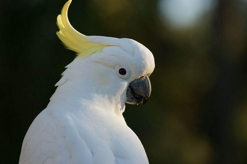Vẹt mào là loài chim có khả năng nói tiếng người cực tốt bằng cách nghe và bắt chước các loại âm thanh quen thuộc