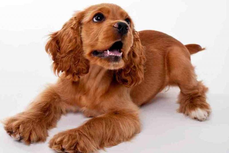 Cocker Spaniel là một giống chó có nguồn gốc từ Mỹ