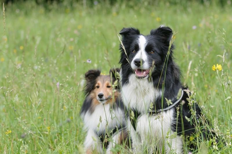Collie - một trong những loài chó cảnh thông minh nhất thế giới
