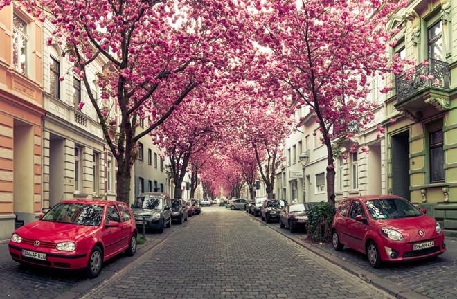 Con đường hoa anh đào ở Đức