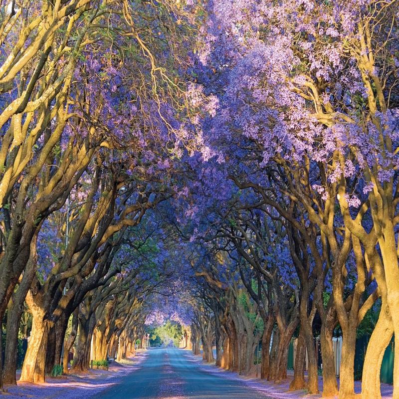 Con đường Jacaranda, Alley, Nam Phi