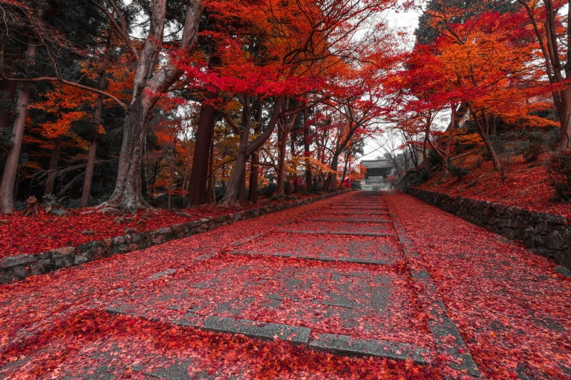 Lá cây rụng nhuộm đỏ cả lối đi