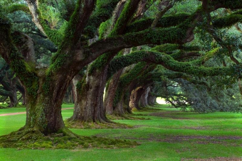 Hàng cây cổ thụ hùng vĩ bám đầy rêu phong