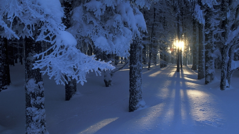 Những tia nắng sớm nhẹ nhàng lọt qua những tán thông phủ đầy tuyết trắng'