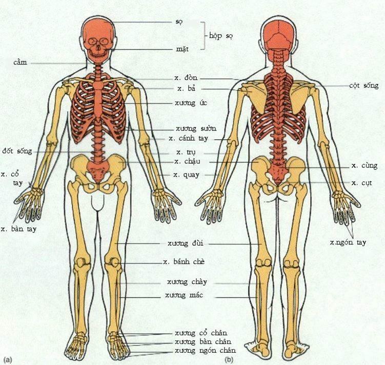 Con người không trực tiếp điều khiển xương