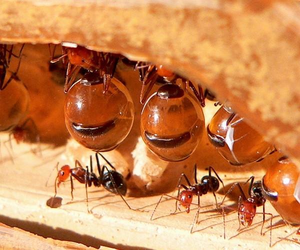 Côn trùng căng tròn nhất - Kiến mật