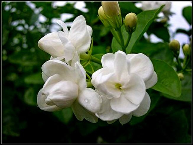 Con vợ khôn lấy thằng chồng dại như bông hoa nhài cắm bãi cứt trâu