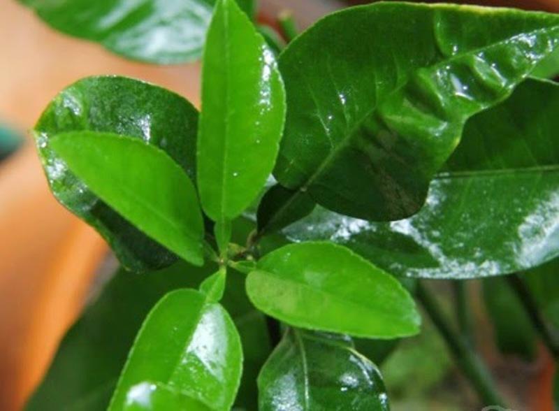 Lá bưởi hiệu quả trong chữa bệnh và làm đẹp