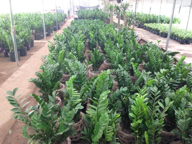 Vườn ươm Kim Tiền xanh mướt của Công ty cây cảnh Gia Huy