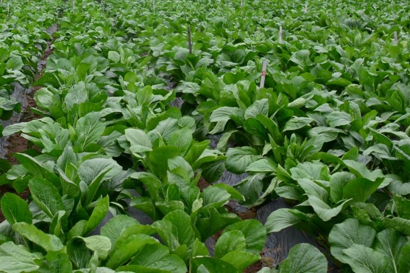 Giống cải ngọt Sakata có khả năng chịu ẩm, chịu lạnh tốt, chất lượng ăn ngọt.