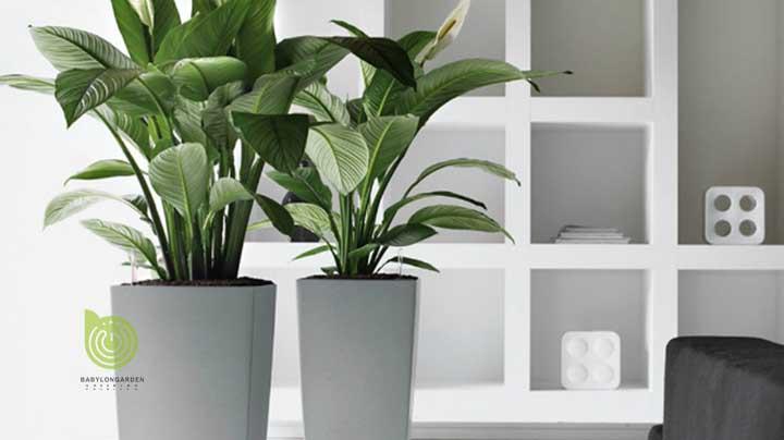 Cây đáp ứng theo yêu cầu của khách hàng cũng như phù hợp với không gian nội thất