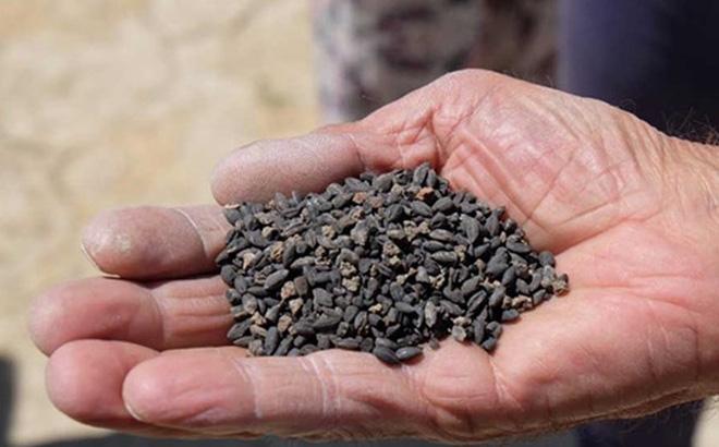 Hạt giống của Thông Đỏ được nhiều nông dân tin dùng