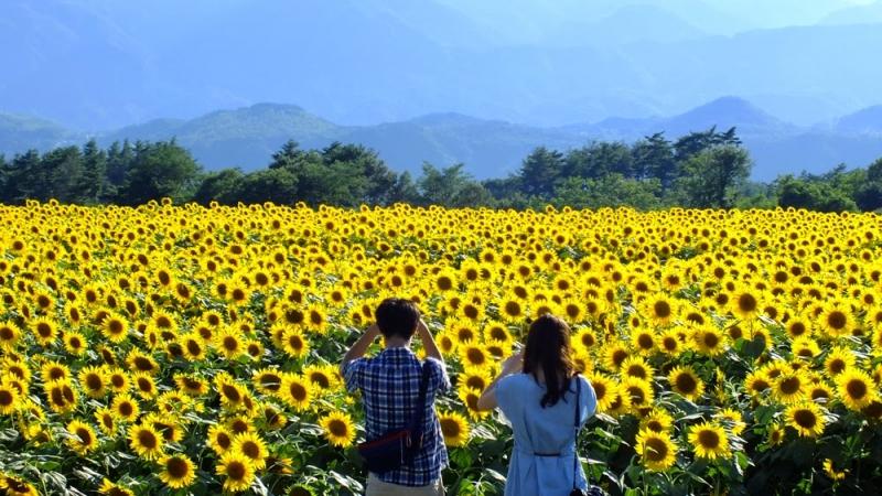 Du lịch mùa hoa hướng dương ở Nghệ An