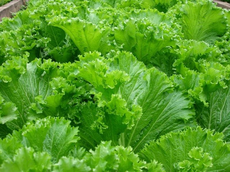 Hạt giống cây cải bẹ mào gà chống chiụ sâu bệnh, khi thu hoạch nặng 1.5 – 2 kg.