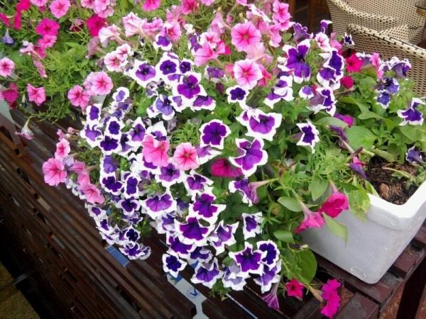 Hạt giống hoa dạ yến thảo sọc