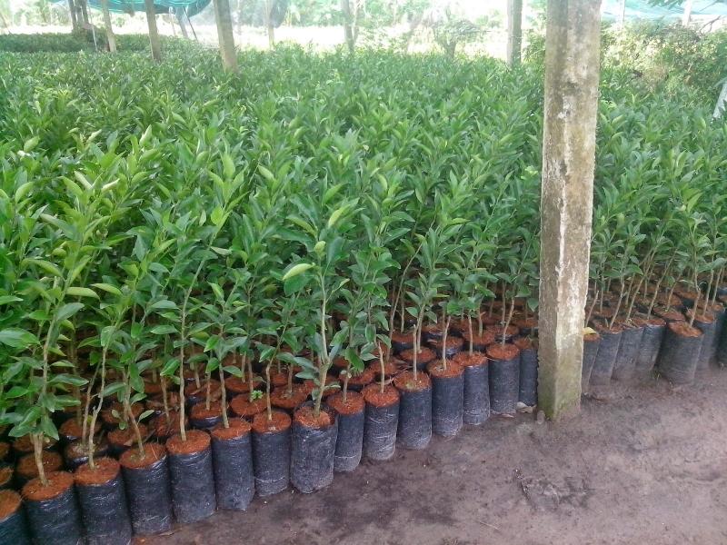Những bầu cây chuẩn bị được xuất ra thị trường